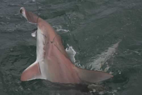 p_Holden_Beach_Fishing_Hammer_Head_Shark_2.jpg